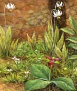 Detail - spring wildflowers, trillium and shooting star